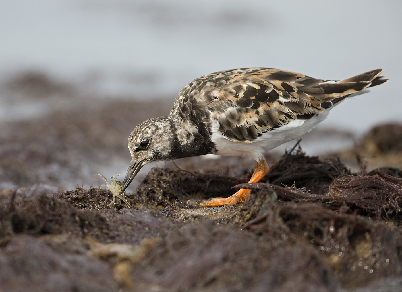 FORAGING FOR CRABS by Neil Neville.jpg