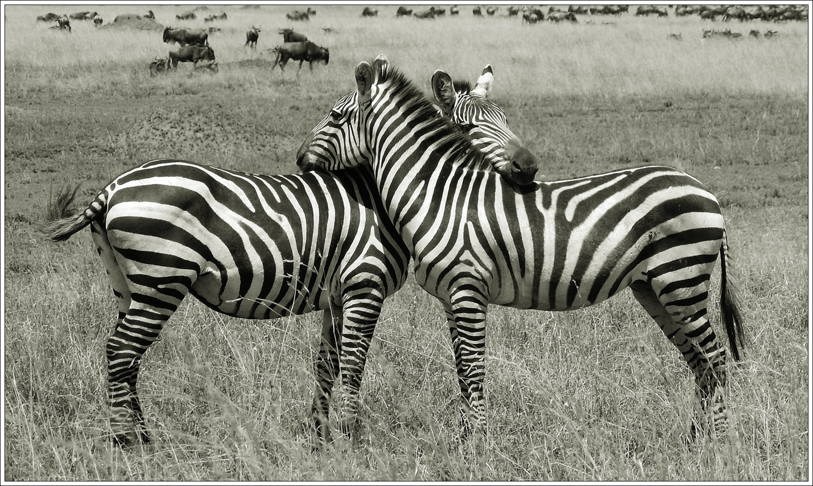 ZEBRA LOVE By Bushra Sheikh