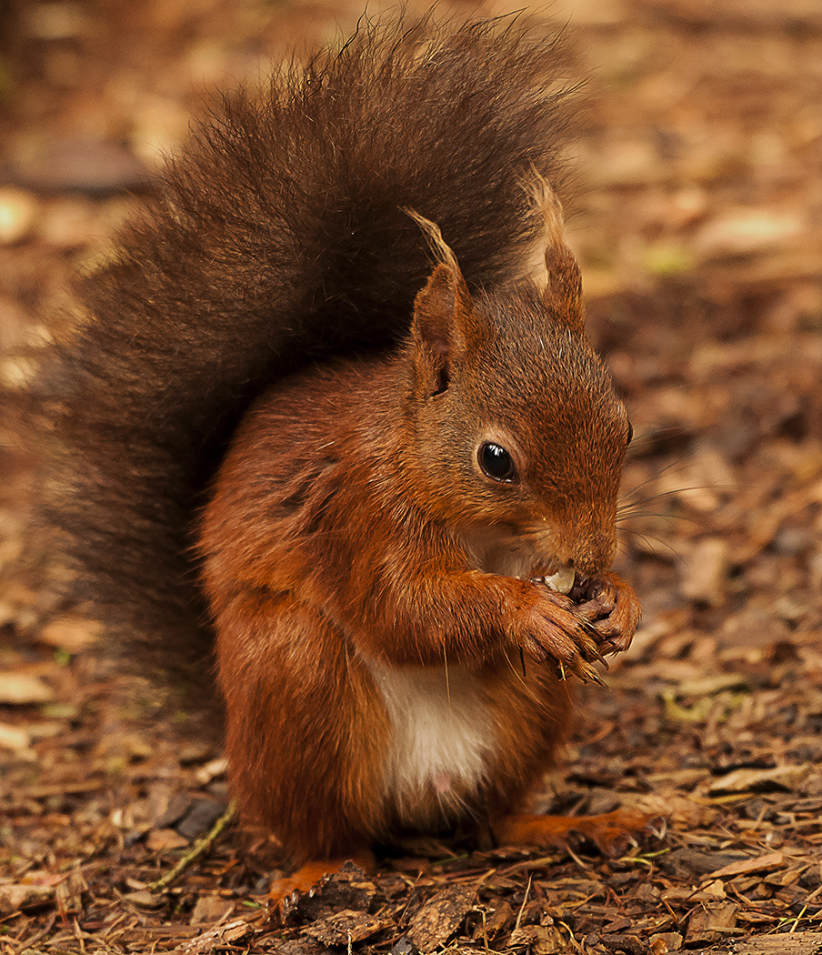 Squirrel Nutkin by Gary Scorgie.jpg