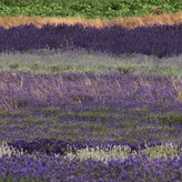 LAVENDER LAYERS by Sue Avey.jpg