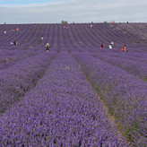 SOCIAL DISTANCING IN LAVENDER FIELD by S