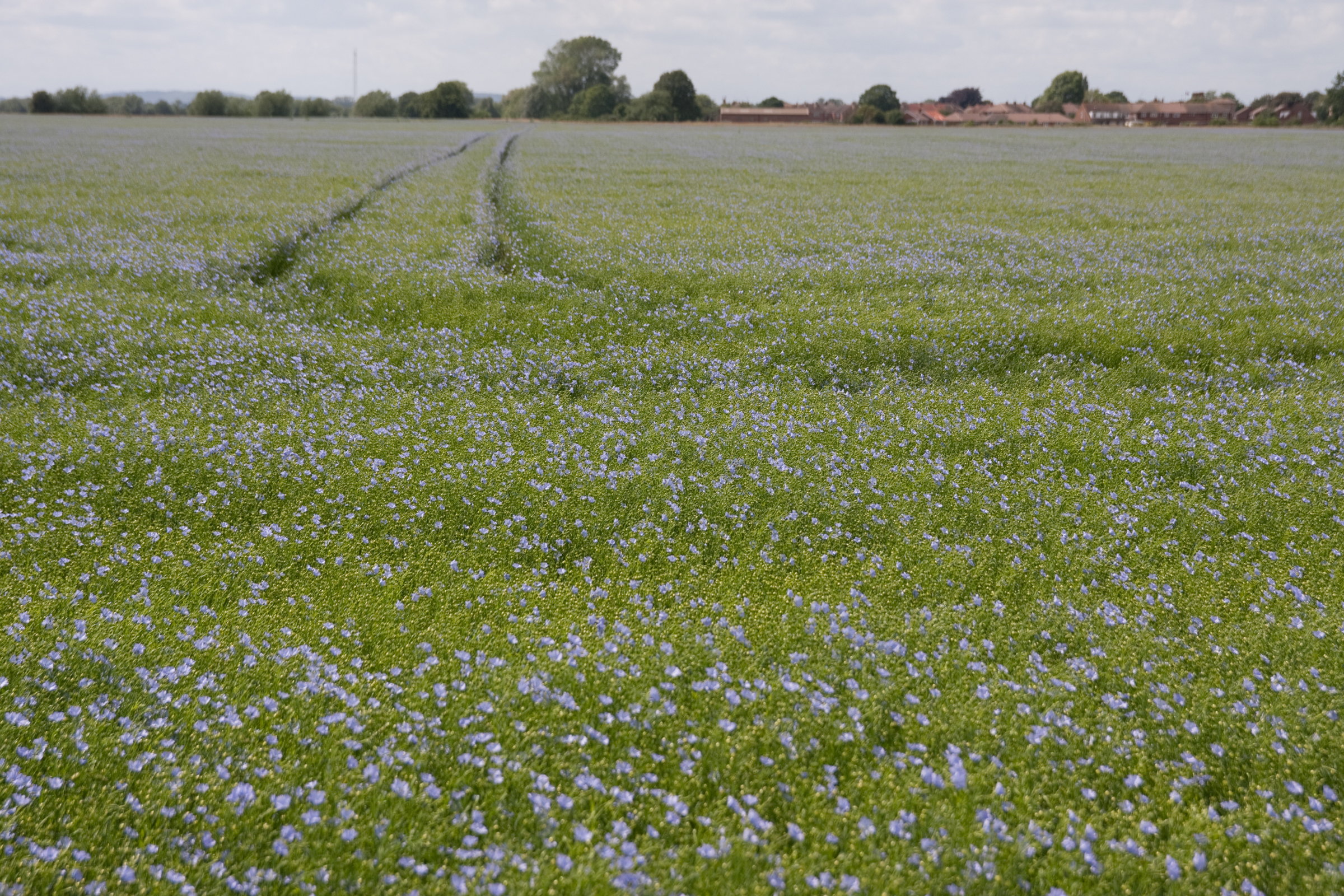 FIELD OF FLAX, by Peter Tidey