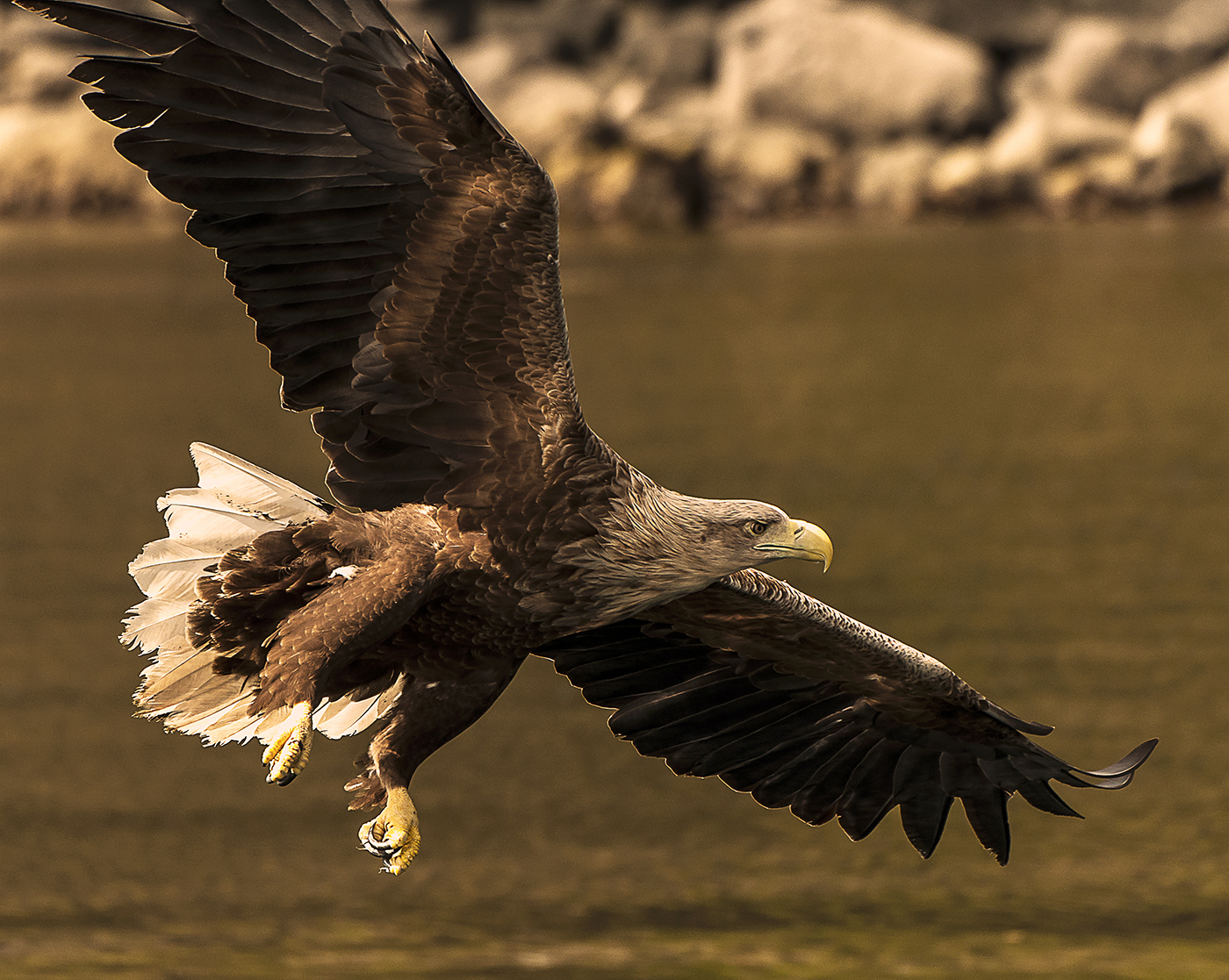 White Tailed Sea Eagle by Gary Scorgie.jpg