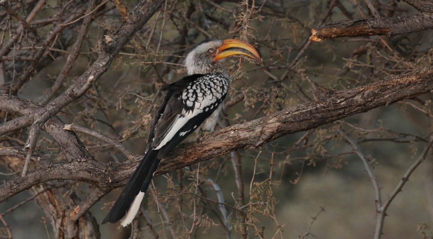 SOUTHERN YELLOW-BILLED HORNBILL by Jane Sharp