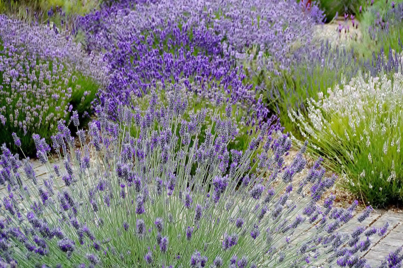 FANS OF LAVENDER by Dave Taylor