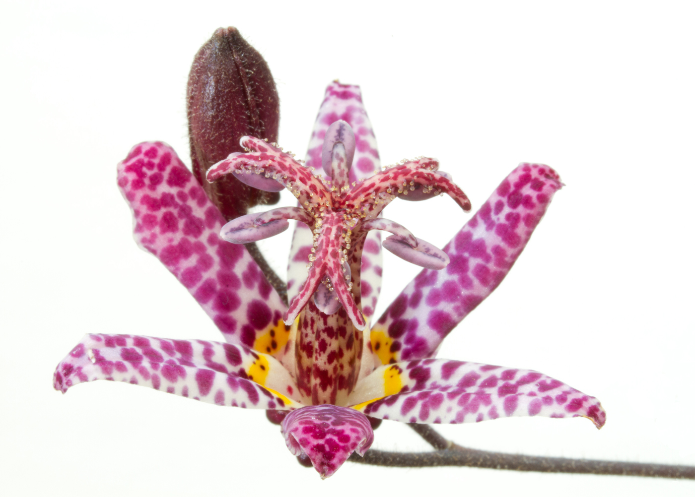 JAPANESE TOAD LILY by Peter Morrish.jpg