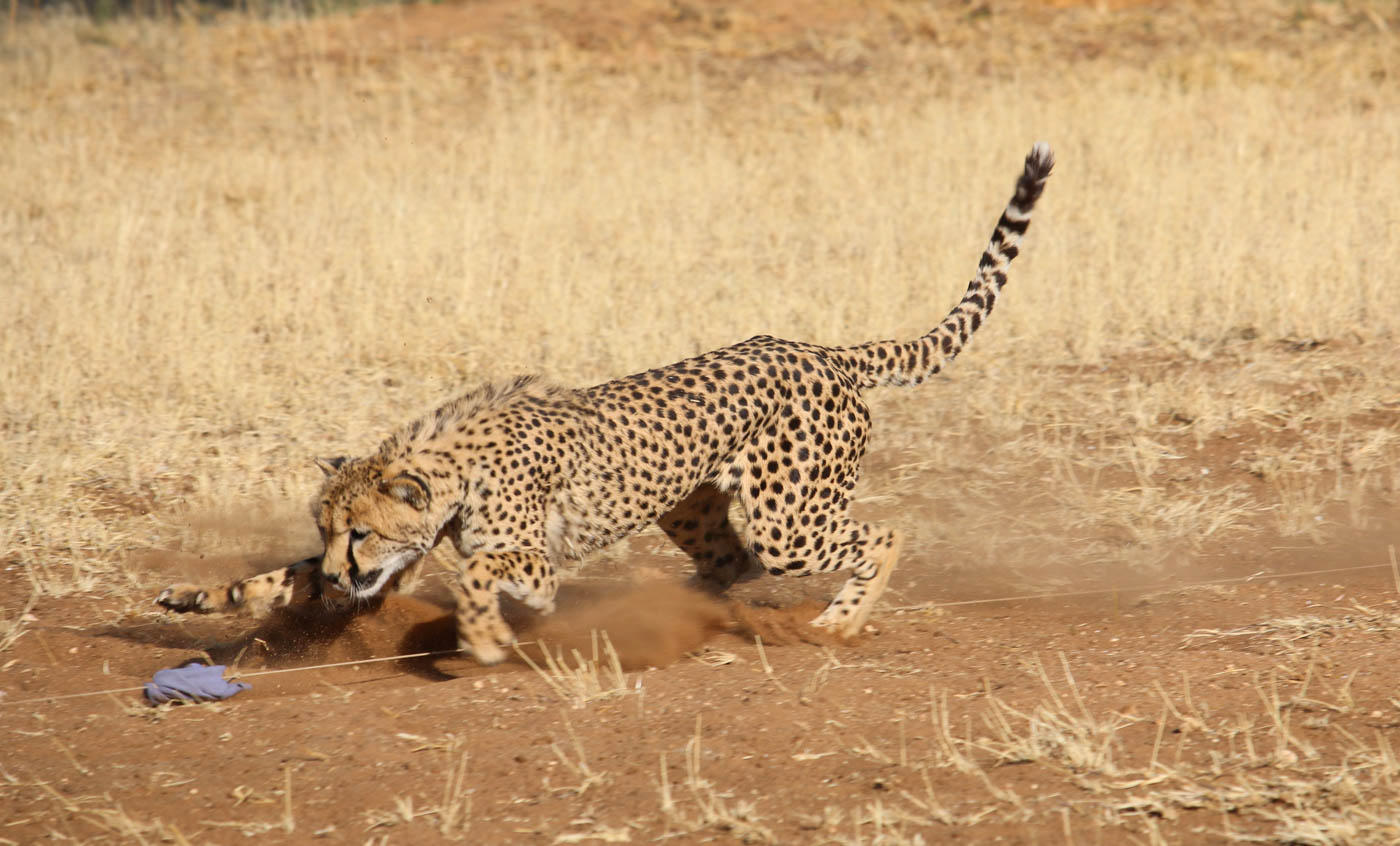 CHASING CAT by Jane Sharp