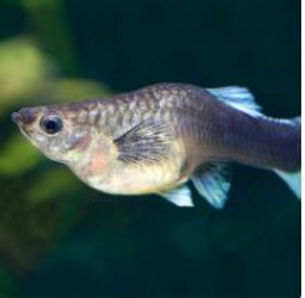 Guppy fish.JPG