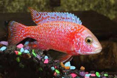 Strawberry Red Peacock Cichlid.jpg