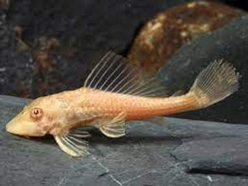 Albino Plecostomus.jpg