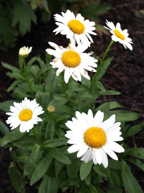 Shasta Daisy  June-October     Leucanthemum hos. (Shasta Daisy)  Wonderful summer-blooming, cheerful looking perennials. Use for mass plantings, perennial borders, or in containers.   Semi-Evergreen ExposureFull sun ColorWhite, yellow, cream Height6in - 12in HabitUpright WaterLet dry between waterings CategoryPerennials Drought Tolerant  Plant descriptions: T&L