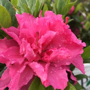 Azalea 'Bloom-a-thon Double Pink'
