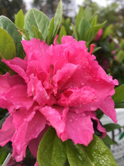 Azalea 'Bloom-a-thon Pink Double'