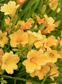 Dwarf Daylily  May-September     Hemerocallis 'Stella de Oro'(Daylily - Yellow)  Bright yellow flowers in early summer, vigorous, free-flowering. Full sun.  Herbaceous ExposureFull sun ColorYellow Height6in - 12in HabitUpright Spacing18-24in WaterLet dry between waterings CategoryPerennials Deer resistant  Plant descriptions: T&L