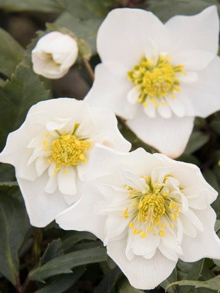 Winter Dreams Double Fantasy Christmas Rose    Semidouble white flowers with pale yellow center and red spotting at the base of the petal. Drought tolerant once established.  Exposure:Partial to full shade Color: Height:  Width: Water: Soil Needs:Moist, well-drained soil. Organic mulch. Bloom time:  Category: Perennial   Cold hardy to USDA zone 5.  Drought resistant, pollinator friendly, deer resistant.  Photo credit: Monrovia