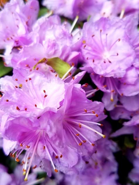 Rhod. 'Purple Gem'