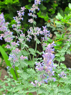 Catmint (Nepeta) June-September     Nepeta x faassenii 'Walker's Low'(Catmint)  Blue flowers bloom through the summer, good for use in containers.   Herbaceous ExposureFull sun ColorBlue / Purple Height13in - 24in HabitMound WaterLet dry between waterings CategoryPerennials Deer resistant. Drought tolerant.  Plant descriptions: T&L