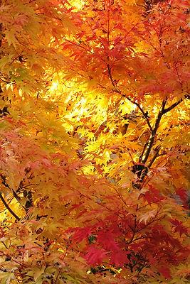 JapaneseMaple_FallColor_Oct2011.jpg