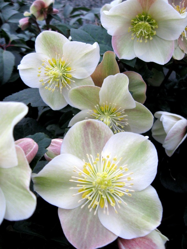 Helleborus HGC 'Cinnamon Snow'    Large, cinnamon pink buds give way to creamy white flowers blended with rose and cinnamon. Cinnamon red petal backs. Dark green leaves. Drought tolerant once established.  Exposure:Partial to full shade Color:White, deep pink, reddish-pink Height:15-25 in.  Spread:24 in. Water:Requires ample water Soil Needs:Moist, well-drained soil. Mulch to maintain summer moisture. Bloom time: Winter Category: Perennial  Cold hardy to USDA zone 5.  Drought resistant, pollinator friendly, deer resistant.  Photo credit: Skagit