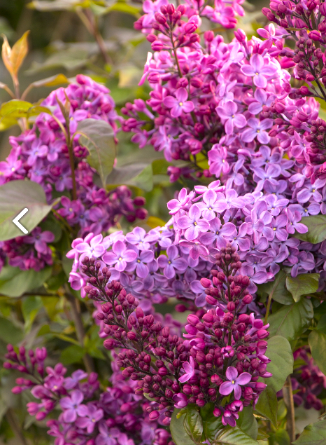 Lilac 'Old Glory'