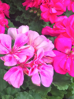 Geranium (Pelargonium) April-October     Zonal Geranium  Vibrant flowers bloom from spring to fall. A cheerful addition to any container, basket, window box, or seasonal flowerbed.  Herbaceous ExposureFull sun ColorOrange Height13in - 24in HabitMound WaterLet dry between waterings CategoryAnnuals  Plant descriptions: T&L
