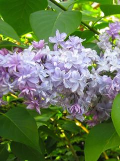 Lilac 'President Grevy'