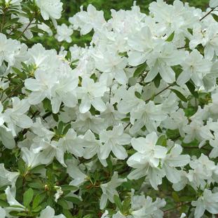Azalea 'Hino White'