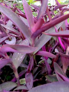 Purple Variegated Setcreasa