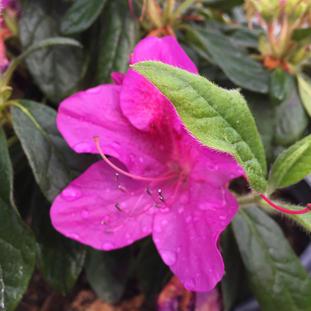 Azalea 'Bloom-a-thon Lavender'