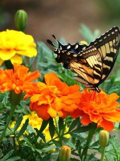Marigolds June-October