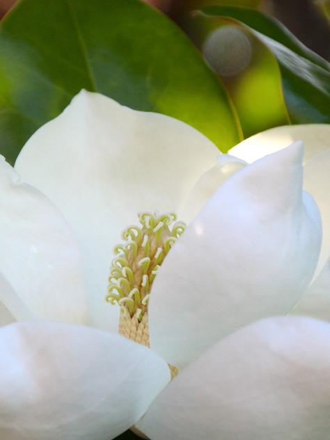 'Little Gem' dwarf evergreen  Southern magnolia   Photo: pixabay