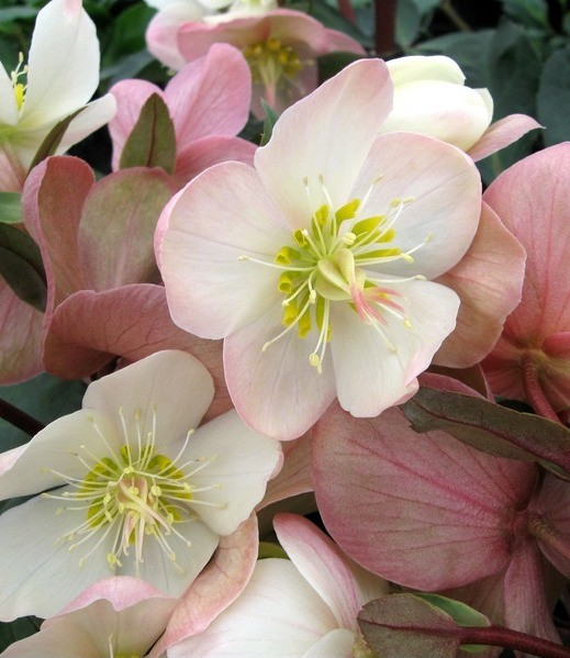 Helleborus HGC 'Mahogany Snow'    Large creamy white flowers with light pink reverse age to mahogany pink. Reddish stems. Compact and uniform. Drought tolerant once established.  Exposure:Partial to full shade Color:White, light  pink, mahogany pink. Height:12-15 in.  Width:20 in. Water:Requires ample water Soil Needs:Moist, well-drained soil. Mulch to maintain summer moisture. Bloom time: Winter – early spring Category: Perennial  Cold hardy to USDA zone 5.  Drought resistant, pollinator friendly, deer resistant.  Photo credit: Skagit