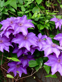 Clematis 'Starry Nights'