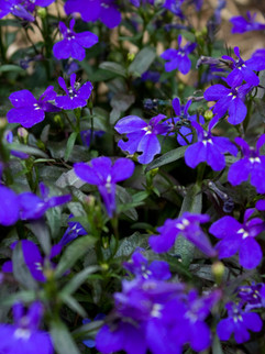 Lobelia May-October     Lobelia (trailing & upright)  Annual with nice mounding habit that works well in containers or the landscape. Good heat tolerance.   Herbaceous ExposureFull sun ColorBlue, purples, blue/purple, white, pink Height6in - 12in HabitMound WaterKeep soil evenly moist  Plant descriptions: T&L