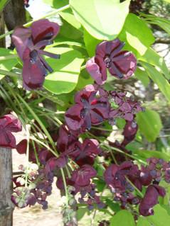 Fiveleaf Akebia (Chocolate Vine)