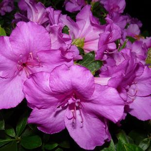 Azalea 'Girards Purple'