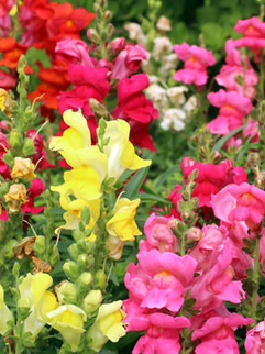 Snapdragons April-October     Antirrhinum (Snapdragon) Exposure Sun, Part Shade WaterModerate CategoryTender Perennial or Annual