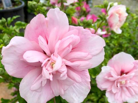 Rose of Sharon 'Pink Chiffon'