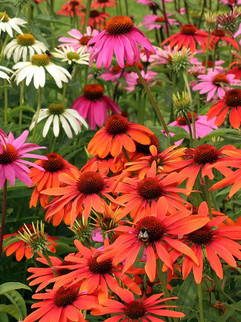 Coneflowers (Echinacea) June-September     Echinacea (Coneflower)  Upright coneflower produces bountiful flowers that are long-lasting from early summer to frost.  Herbaceous ExposureFull sun ColorWhite Height13in - 24in HabitUpright WaterLet dry between waterings CategoryPerennials  Plant descriptions: T&L