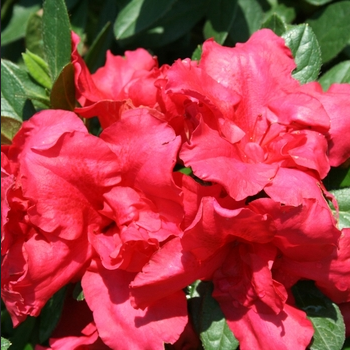 Azalea 'Bloom-a-thon Red'