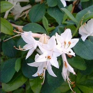 Azalea 'Fragrant Star' (Deciduous)