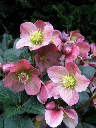 Helleborus HGC 'Merlin'    Light to medium pink flowers age to a very dark burgundy. Deep green leaves with lighter veins and plum stems. Drought tolerant once established.  Exposure:Partial to full shade Color:Light to medium pink Height:12-15 in.  Width:24 in. Water:Requires ample water Soil Needs:Moist, well-drained soil. Mulch to maintain summer moisture. Bloom time: Late winter – spring Category: Perennial  Cold hardy to USDA zone 5.  Drought resistant, pollinator friendly, deer resistant.  Photo: Skagit