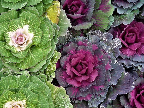 Beautiful ornamental cabbages.jpg