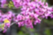 Redbud Tree Blossom