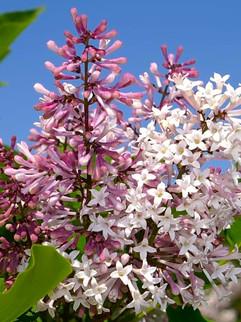 Lilac 'Miss Kim' Full & dwarf sizes