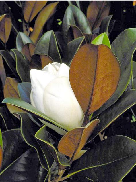 'DD Blanchard' evergreen Southern magnolia   Photo: Monrovia