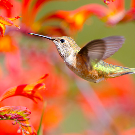 Hummingbird Favorites