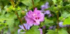 Rose_of_Sharon_Ardens_IMG_8894.jpg