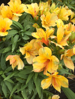 Peruvian Lily (Alstromeria)
