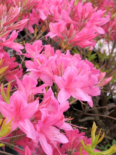 Azalea 'Rosy Lights' Deciduous